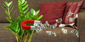 Долларовое дерево: уход в домашних условиях