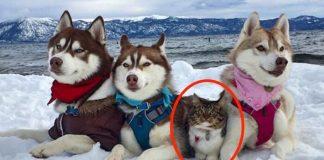 Хаски и котенок