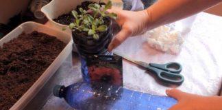 Как правильно посадить петунию